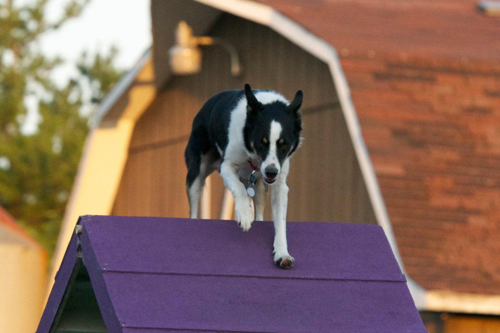 Advanced Agility – Blitzen Canine Academy
