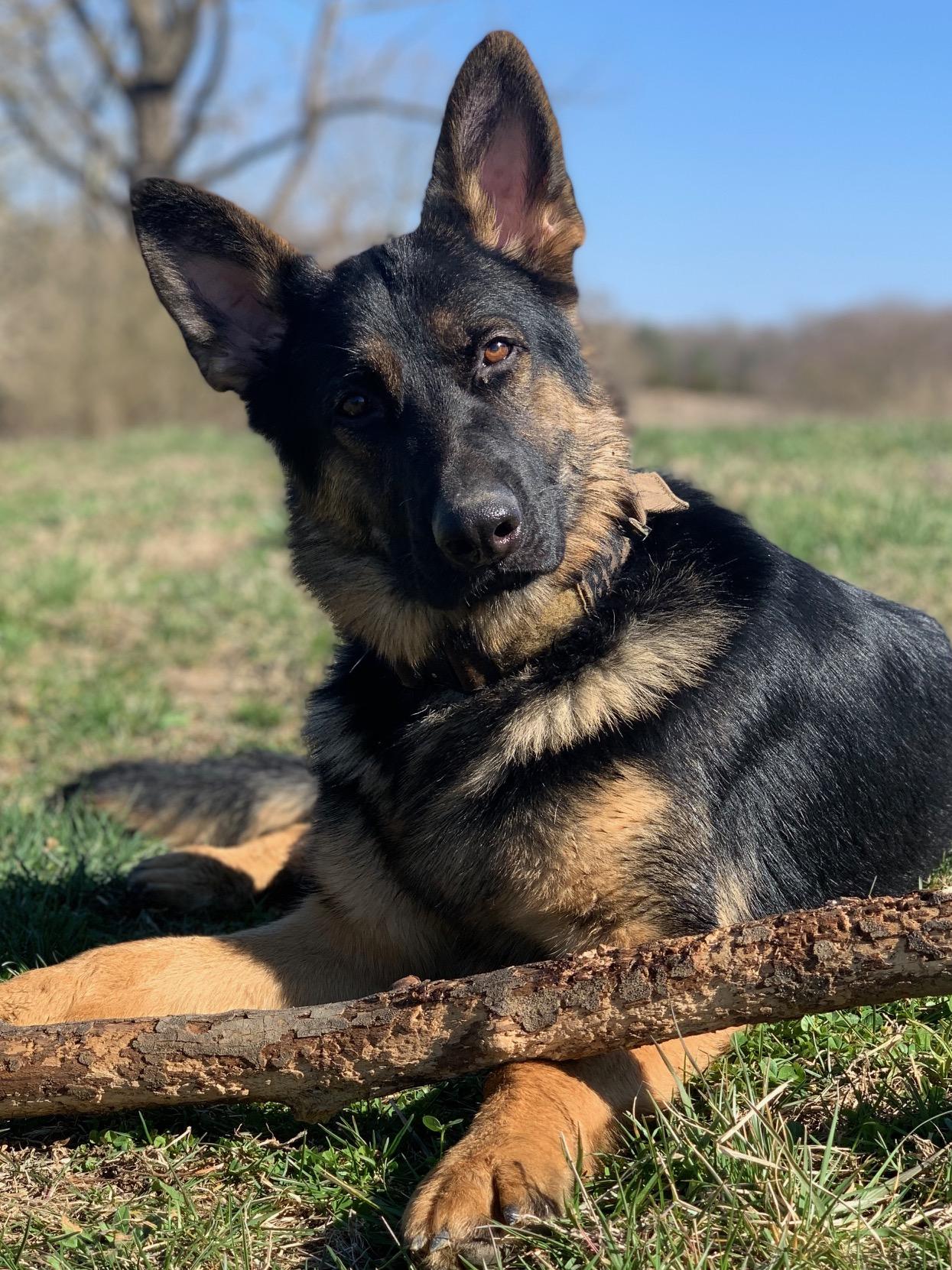 German Shepherd Progeny – Blitzen Canine Academy